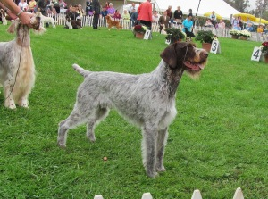 GCH CH MT VIEW'S RIPSNORTER SILVER CHARM