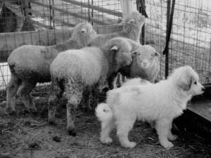 livestock guarding dog puppy