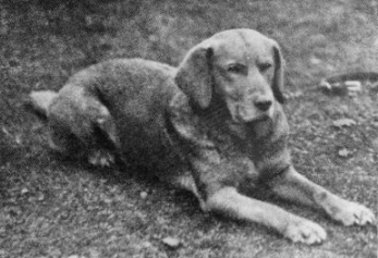 First yellow lab 1899