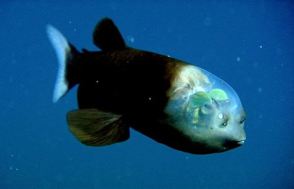 fish-transparent-head-barreleye_10442_600x450