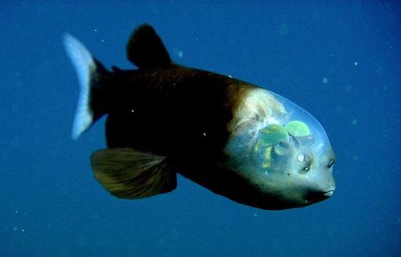 fish-transparent-head-barreleye_10442_600x450