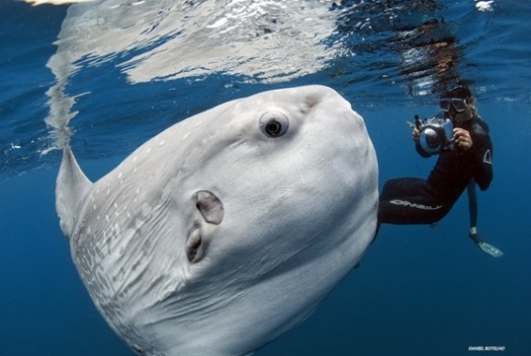 ocean-sunfish-590x397